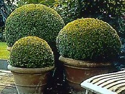 Box topiary balls in containers